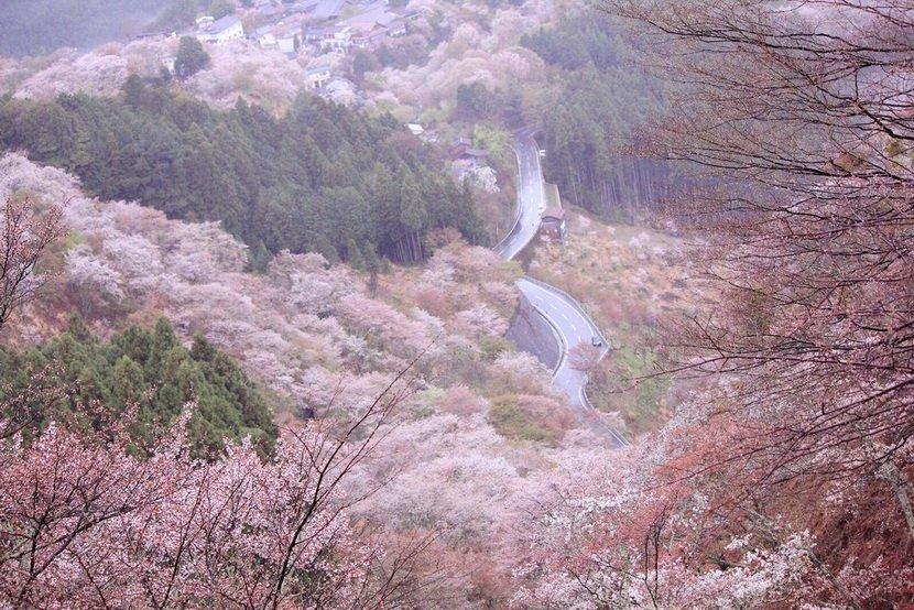 sakura_jp08
